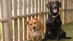 Two Labradors Sitting down and smiling