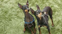 Two Miniature Pinscher